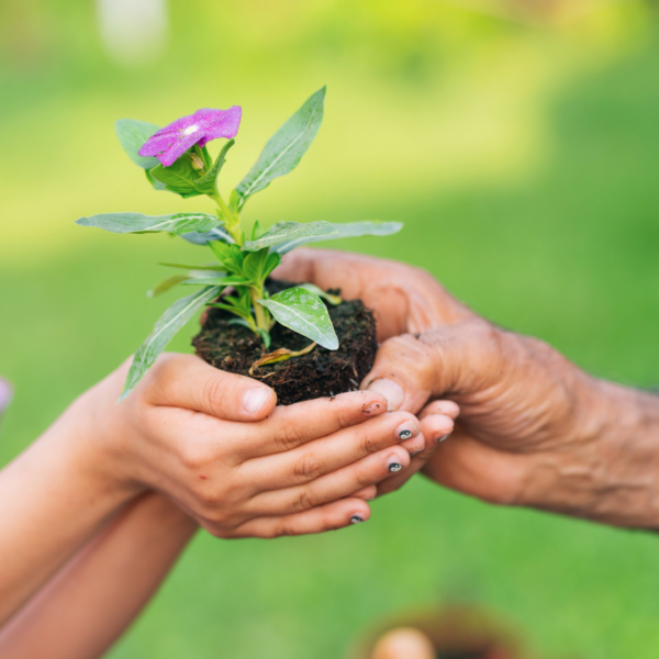 Two hands holding flowering plant